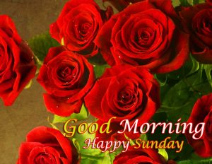 Rose Free Beautiful Good Morning Happy Sunday HD Pics Pictures