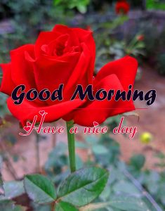 Beautiful Romantic Good Morning Images Wallpaper With Red Rose