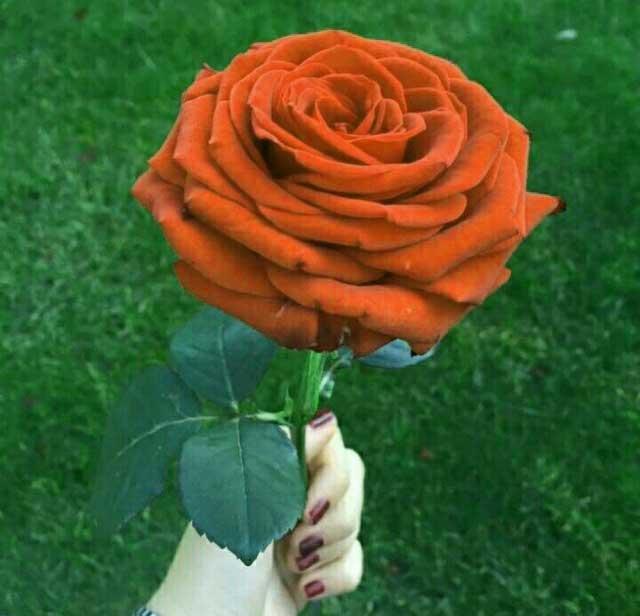 New Rose Nice Whatsapp DP Images