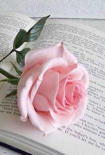 Rose Nice Whatsapp DP Images HD