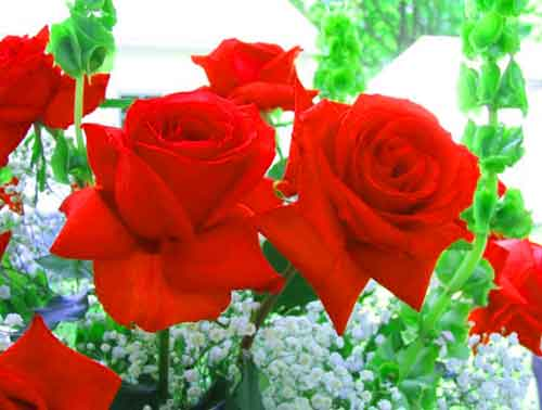 red rose Whatsapp Dp Images photo pics hd