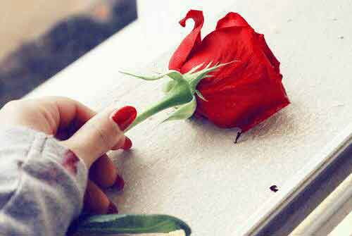 red rose Whatsapp Dp Profile Images photo download