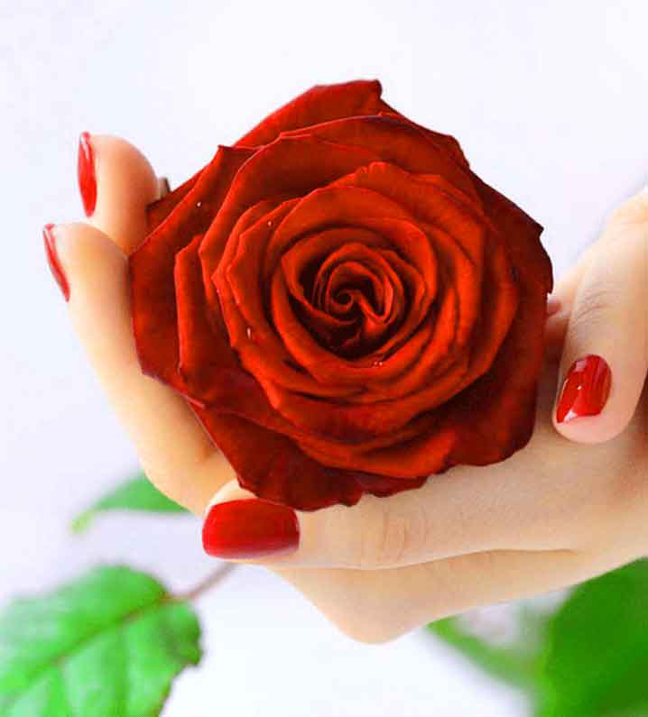 red rose Whatsapp Dp Profile Images photo hd download