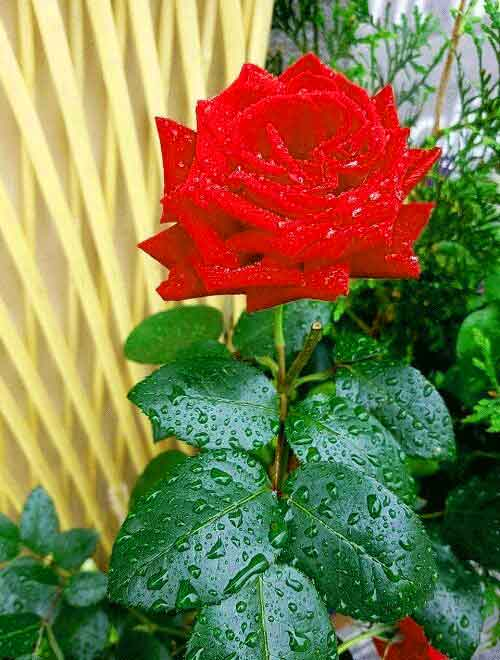red rose Whatsapp Dp Profile Images pics download