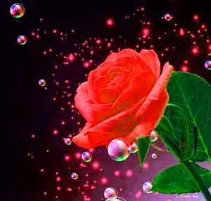 rose Whatsapp Dp Profile Images