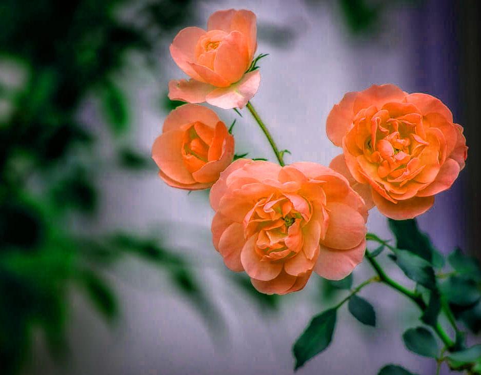 1080p Flower DP