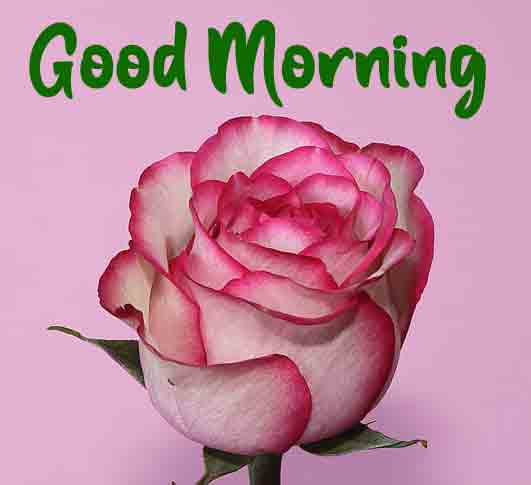 Best HD good morning Images With Rose