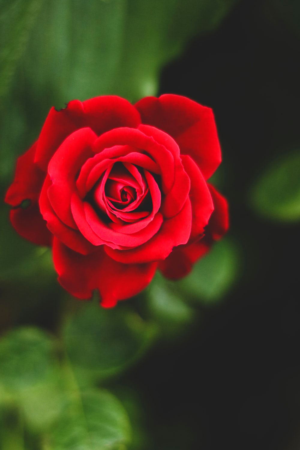 Latest Superb Whatsapp Dp Images for rose