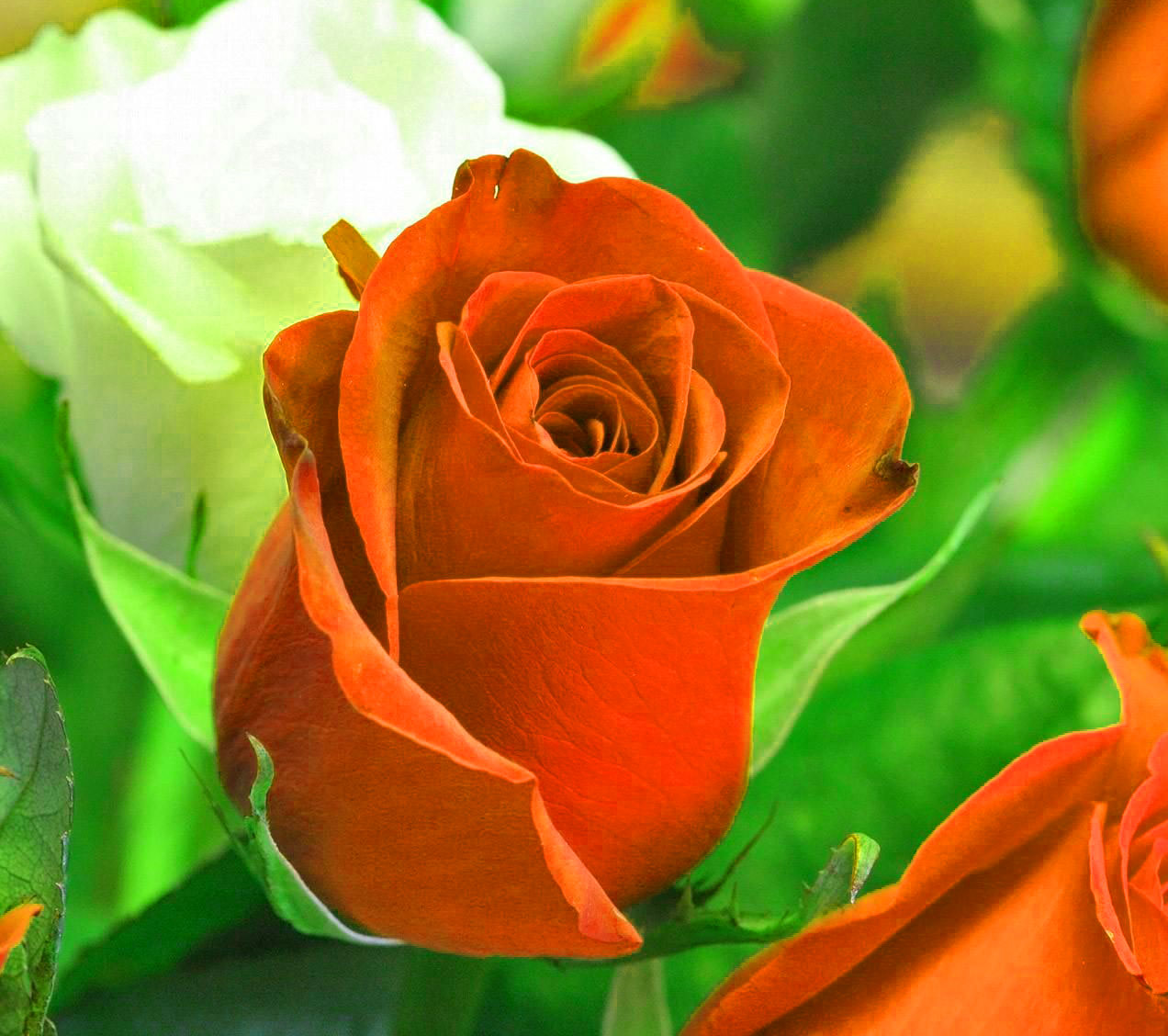 Red Rose Beautiful Flower Images for Whatsapp DP Pics
