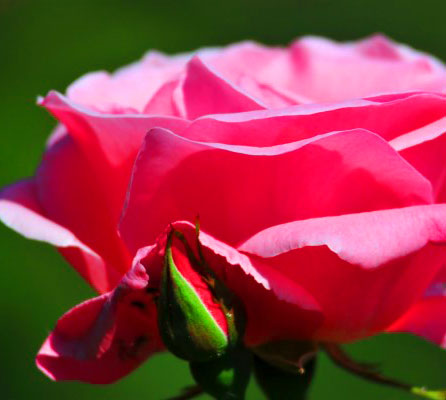 Rose Latest DP Pics