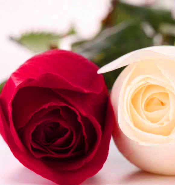 good morning rose flower wi 1