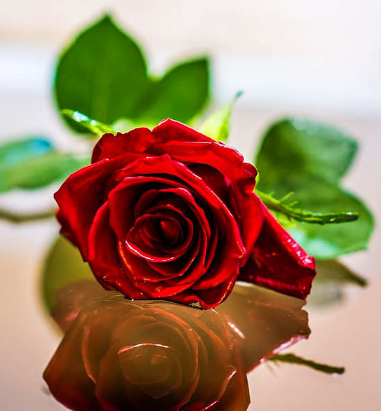rose flower Latest Girlfriend Whatsapp Profile Images