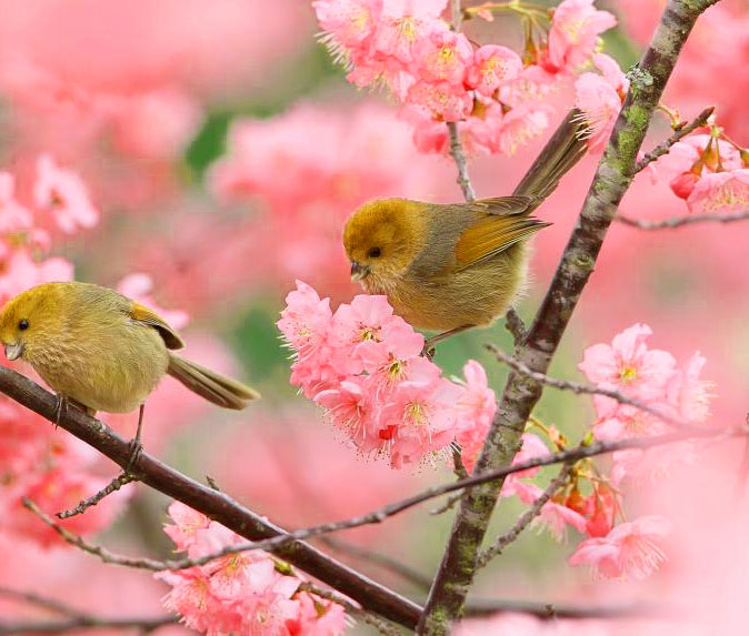 two birds branches pink 1080p Flower DP